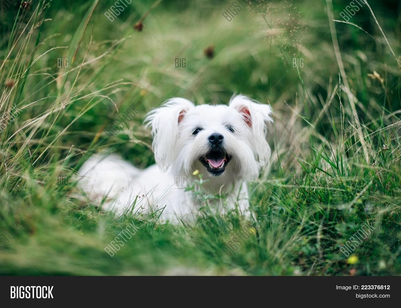 White Cute Dog Running Image Photo Free Trial Bigstock