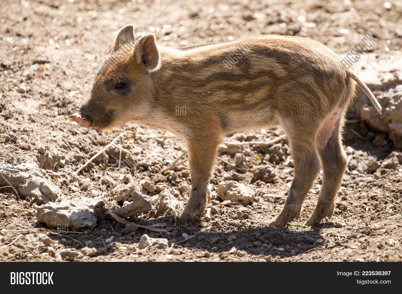 Mud little pig zoo powerpoint template mud little pig zoo domestic powerpoint template 60 slides toneelgroepblik Gallery