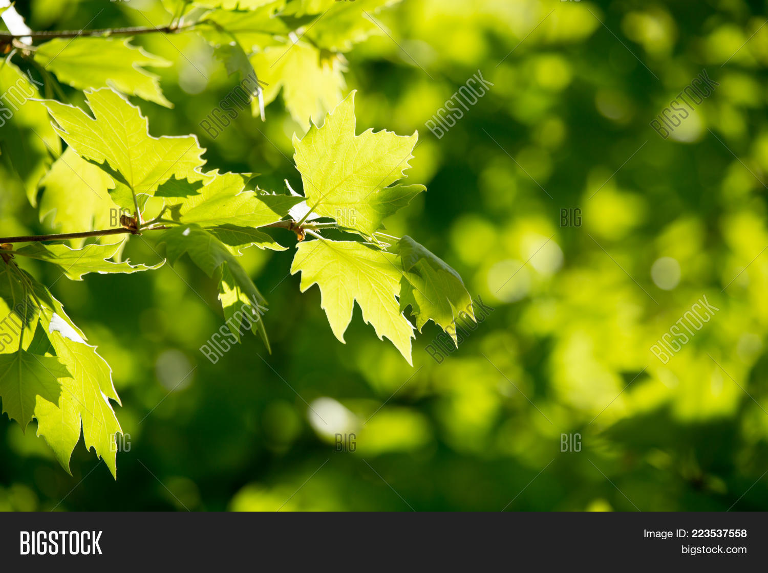 Maple Green Leaves Tree Powerpoint Template Maple Green Leaves