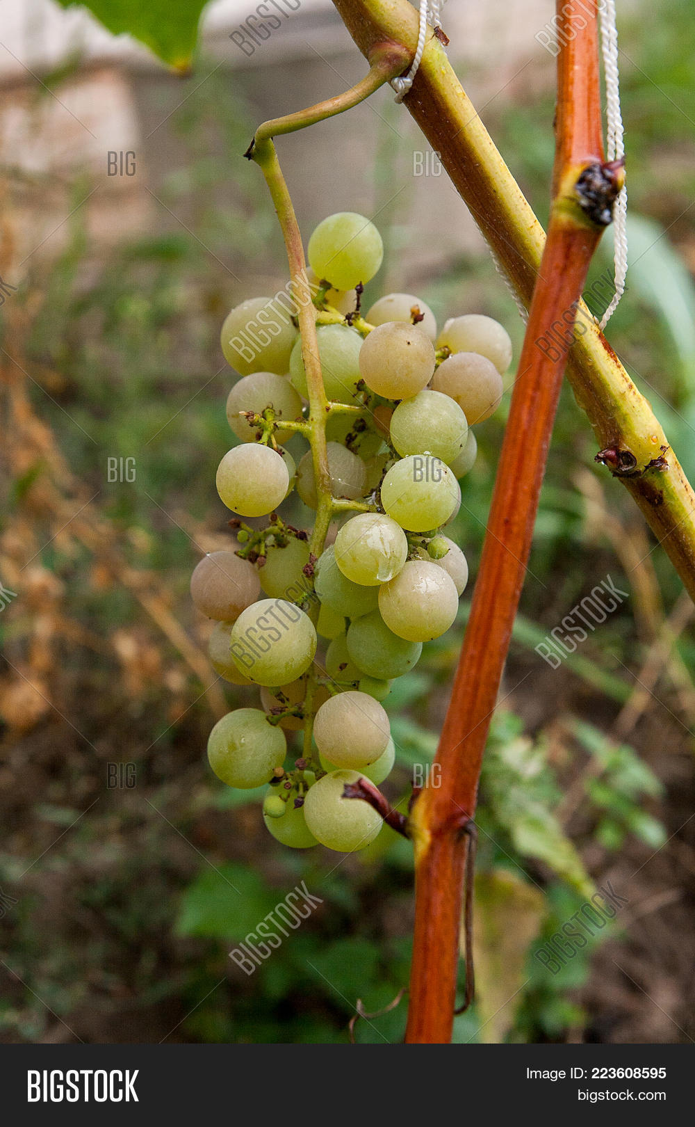 Bunch Green Grapes Image & Photo (Free Trial) | Bigstock