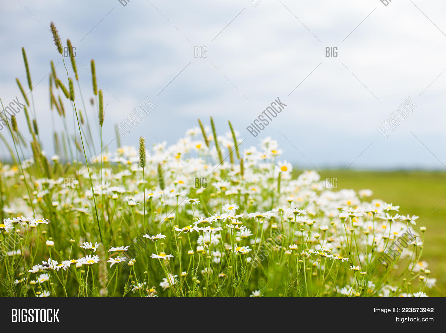 Beautiful Rustic Nature Summer Flower Background With Selective Focus Landscape Flowering Daisies White