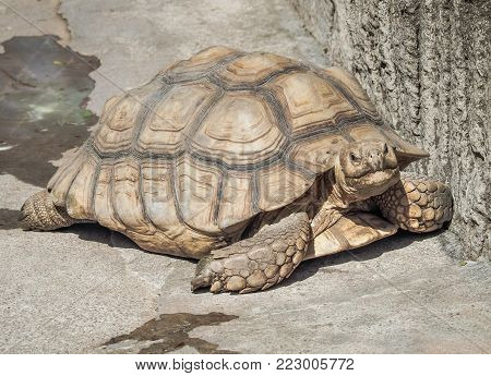 African spurred tortoise (Centrochelys sulcata) on the floor.