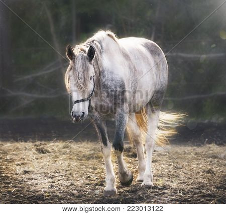 Beautiful white horse with long mane and tail. Dapple gray mare feeding in a pasture. Country summer or autumn landscape.