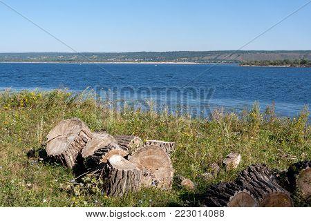 Stumps of felled poplars are lying on bank of Volga river on sunny summer morning.