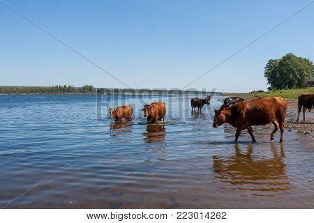 Few cows are freshing, standing in river Volga on hot summer afternoon.