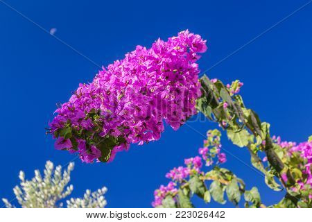 Bougainvillea magenta flower on a blue sky background.