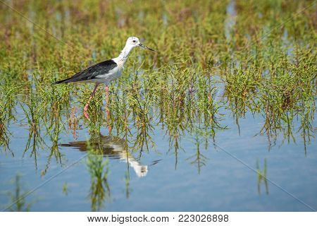 The black-winged stilt (Himantopus himantopus) bird on salt lake.