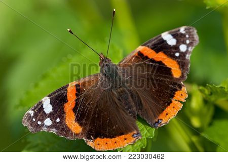 Closeup of red admiral butterfly on green grass leaf - macro shot of Vanessa atalanta