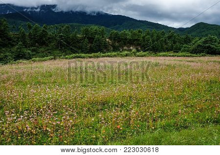 Buckwheat Field On Mountain In Bhutan