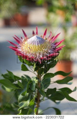 King Protea: Beautiful Protea Cynaroides Flower Close-up.