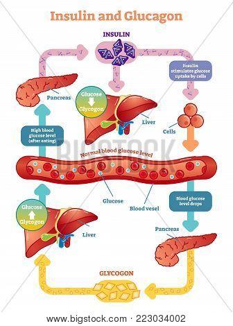 Insulin and glucagon vector illustration diagram. Educational medical information.