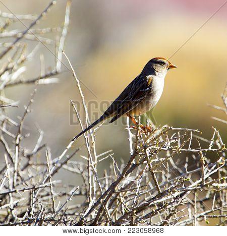 Desert Sparrow on dried brush in Utah
