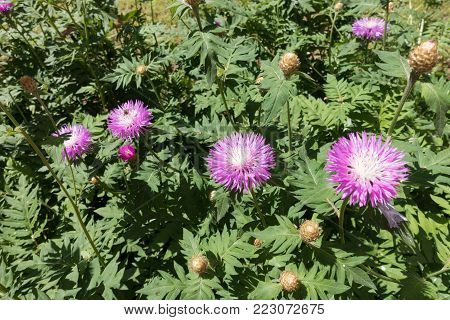 Pink flowers of whitewash cornflower in the garden