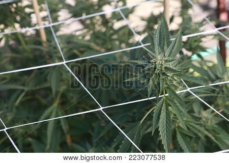 Trellising weed plants lets the flowers grow bigger and faster than in the wild.