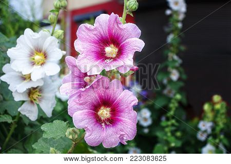 four bright flowers mallow outdoor closeup on summer day