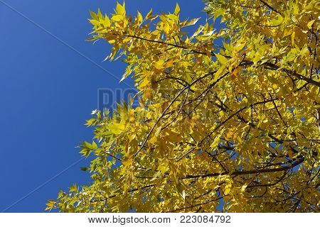 Branches of Fraxinus pennsylvanica against the sky in autumn
