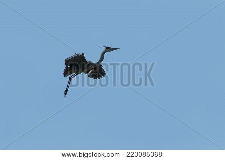 swamp Heron flying on blue sky background, Heron in flight