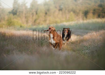 Nova Scotia Duck Tolling Retriever And Australian Shepherd. Two Dogs Outdoors In Summer