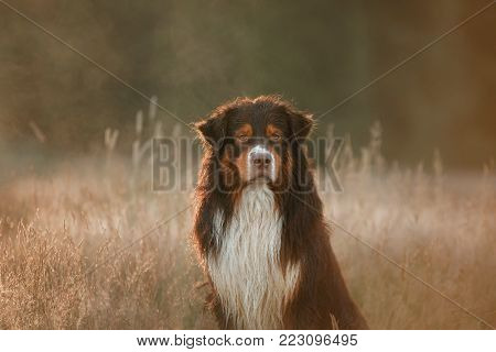 The Australian Shepherd In The Grass. Dog At Sunset