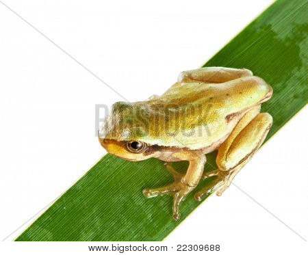 Little frog over rush isolated on a white background.