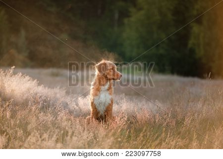 Nova Scotia Duck Tolling Retriever At Sunset. A Dog In A Field Of Dry Grass.