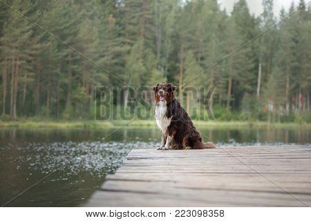 The Australian Shepherd By The Lake. A Wooden Pier
