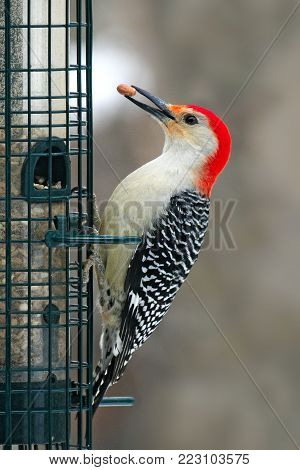 Red-bellied Woodpecker - Melanerpes carolinus - eating on bird feeder with nut in beak