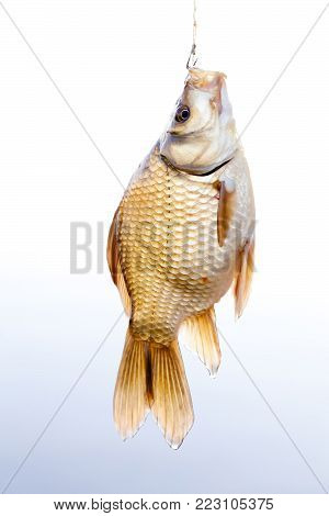 Crucian golden carp on a fishing line tackle, fisherman catch concept. Beautiful decorative golden Carassius against gradient background.