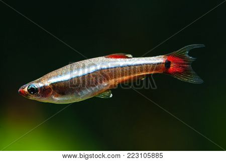 Aquarium fish White Cloud Mountain minnow swimming against soft green plants background. Detailed fish pattern. macro nature concept. soft focus photo.