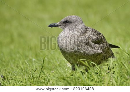 Brown Gull In The Green Grass. Close Up.