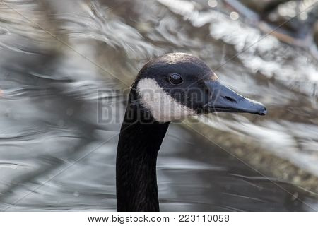 Close-up portrait of a Canada goose - Branta canadensis - with water in the background