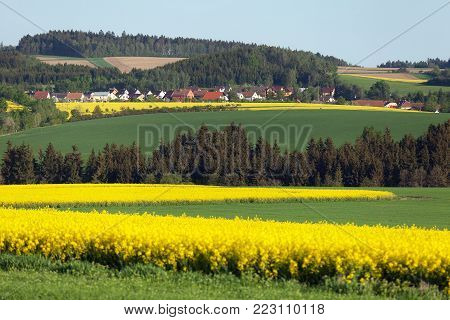 Field of rapeseed, canola or colza, in latin Brassica Napus and lime tree,rape seed is plant for green energy and green industry, springtime golden flowering field