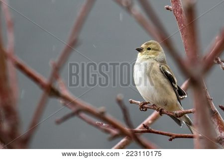 Female American goldfinch perched on a tree branch in the light rain.