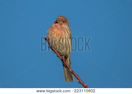 Wild male house finch perches on a tree in the autumn.