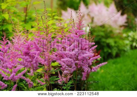 colorful blooming pink astilbe in summer garden in mixed border