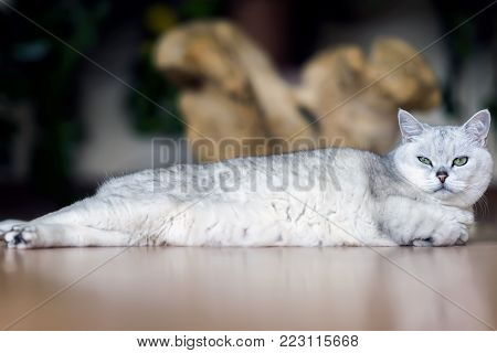 Beloved light cat stretched out in its entire length lazily relaxes on the floor, tiredly folding its paws and looking at us attentively