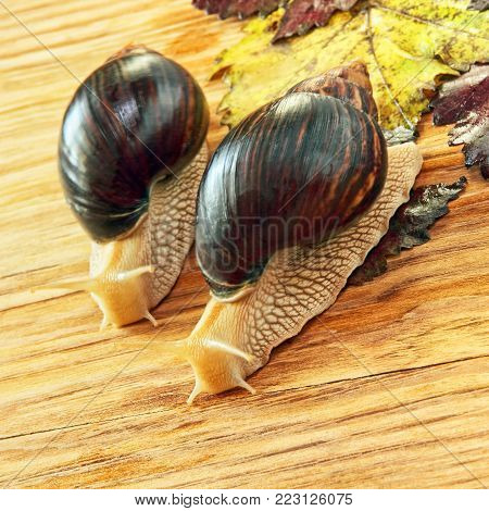 Pair of Giant african Achatina snails on wooden background with grape leaves taken closeup.