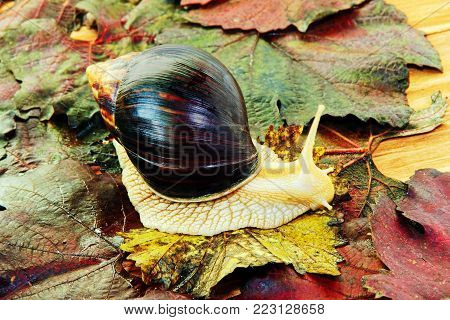 Giant african Achatina snail on colorful autumn grape leaf taken closeup.Toned image.