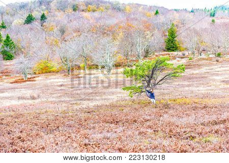 Autumn lush red foliage landscape with one single tree with colorful open vast meadow, in Dolly Sods, West Virginia, young woman standing leaning on it in cold jacket