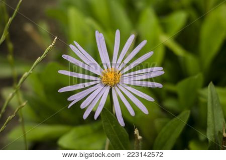 white heath Aster Symphyotrichum ericoides, snow flurry flower in bloom. macro close up