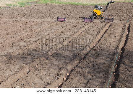 Planting potatoes on vegetable garden, potato seeds in furrows on a potato field
