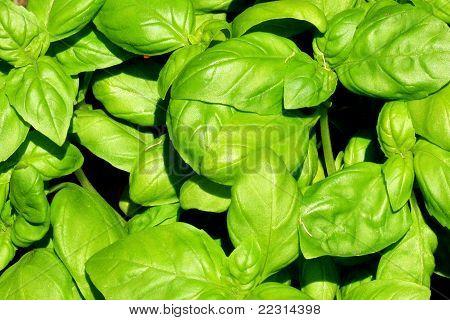 Fresh delicious basil plant