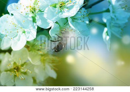 flowers on the branches of a tree cherry spring. blossoming branch close-up. Spring Garden of flowering apricots. Spring blossom. Apricot blossom branch close-up The buds on the branches of a tree apricot spring