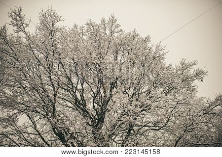 Tree covered with white frost on foggy sky background. Temperature, freezing, cold snap, snowfall. Christmas, xmas, new year holidays celebration. Winter nature, natural environment concept.