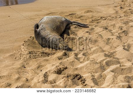 Kauai Monk Seal resting after a long day hunting and avoiding predators by sleeping on the beach and is looking very relaxed.