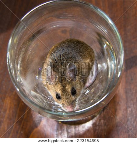 Top view of a brown house mouse or Mus musculus, sitting in a martini glass on a dark brown table.  He seems very content, his back and full face are visible.