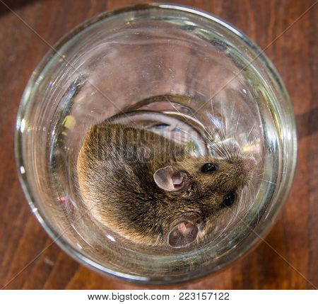 A cute wild brown house mouse, Mus musculus, who found a new home in a clear crystal martini glass.  The rodent is curled up with his full face, back and tail visible.  The cocktail glass is on a wooden table.