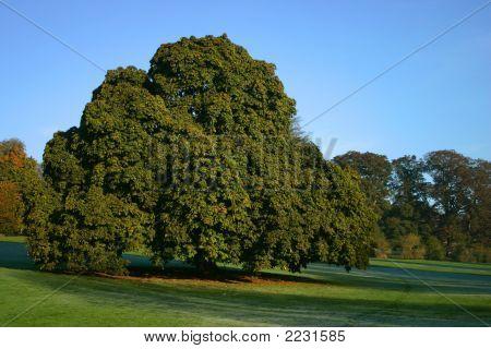 Chesnut Tree