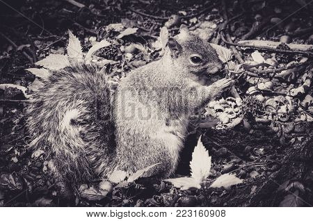 Caroline's Grey Squirrel Nibbling at an Acorn in an Undergrowth