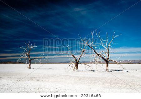 Alte Bäume in der Wüste